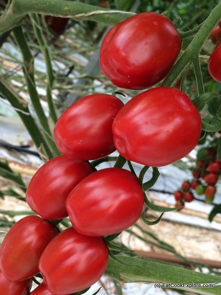 Isle of Wight Tomatoes