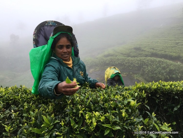 A Tea Pucker at a Tea Plantation