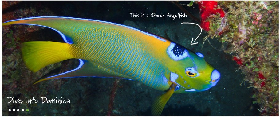 dominica diving -angel-fish