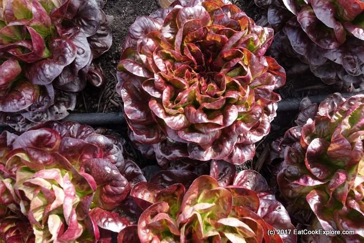 Salad Leaves Mobile Garden City