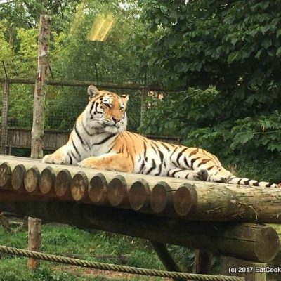 Tea with Tigers at Paradise Wildlife Park