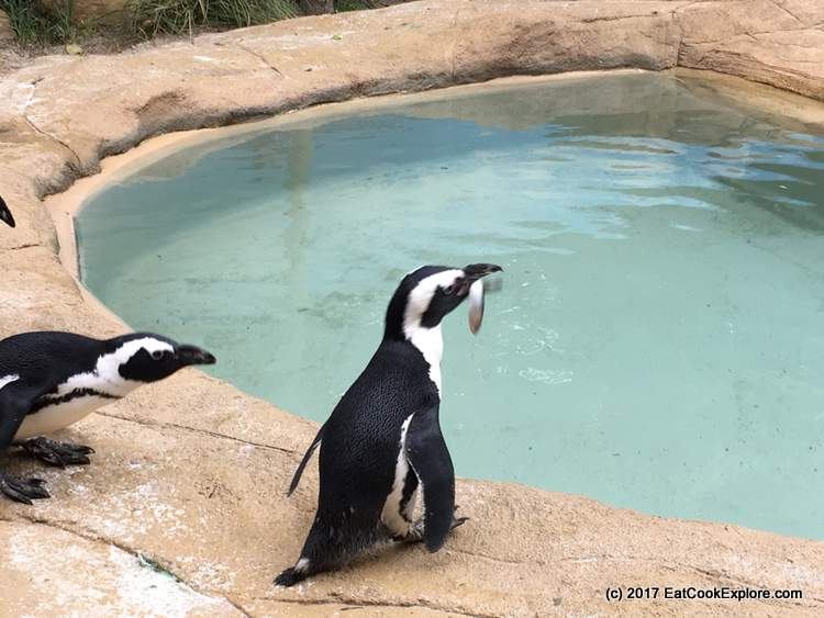 Feeding time for the penguins at 4pm